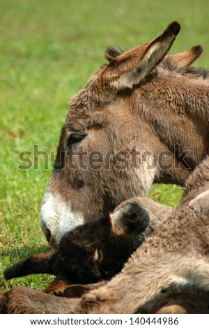 donkey with her calf in the grass - stock photo