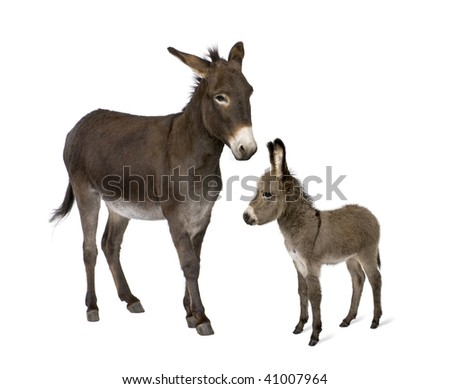 Donkey, 4 years old, and his foal, 2 months old, in front of white background - stock photo