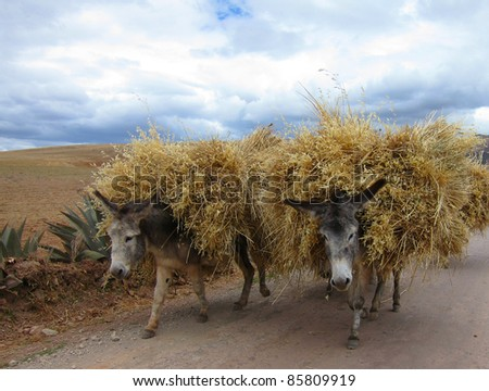 Donkeys in rural Peru, Sacred Valley near Cuzco - stock photo