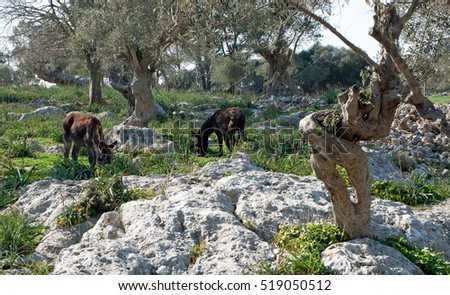 Donkeys in the mountains of Mallorca, Spain