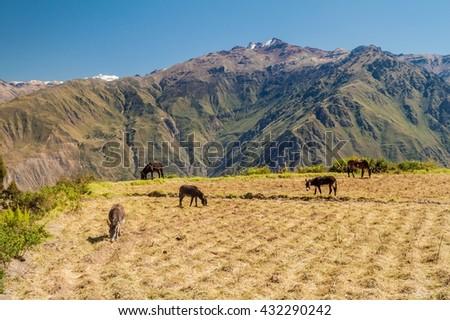 Donkeys on a pasture next to Cabanaconde village, Peru - stock photo