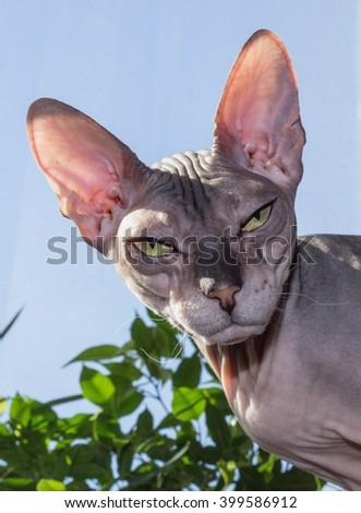 Donskoy cat - stock photo