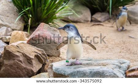 DOONSIDE, NSW/AUSTRALIA - NOV 2, 2015: Little Penguins (Eudyptula minor) standing at Featherdale Wildlife Park, New South Wales, Australia. - stock photo