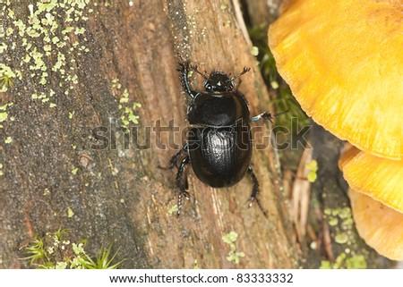 Dor-beetle climbing a tree, macro photo - stock photo
