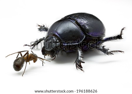 Dor Beetle (Geotrupes stercorarius) facing off against a Wood ant (Formica rufa) - Preserved scientific reference collection specimens, isolated on White. - stock photo
