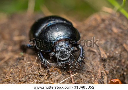 Dor beetle, Geotrupidae on horse dung - stock photo