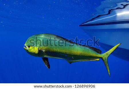 Dorado dolphin fish also known as mahi-mahi or Coryphaena Hippurusl - stock photo