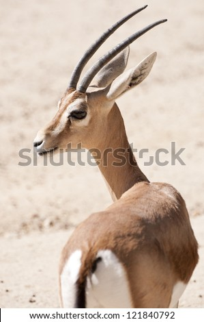 Dorcas gazelle, Gazella dorcas. It is a small and common gazelle inhabits grassland, steppe, wadis, mountain desert and in semidesert climates of Africa and Arabia - stock photo