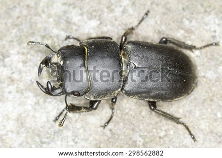 Dorcus parallelipipedus / lesser stag beetle close-up - stock photo