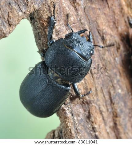 Dorcus parallelopipedus - stock photo