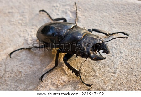 Dorcus titanus,also known as the Giant Stag Beetle, is a beetle of the Family Lucanidae - stock photo