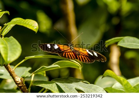 Doris longwing butterfly sitting on green leaf in early morning sunlight - stock photo