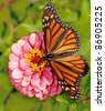 Dorsal view of a female Monarch butterfly, Danaus plexippus, feeding on a pink flower - stock photo