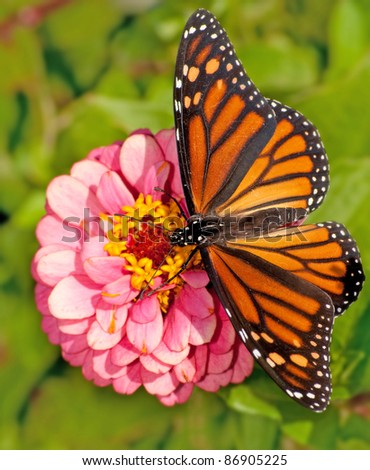 Dorsal view of a female Monarch butterfly, Danaus plexippus, feeding on a pink flower