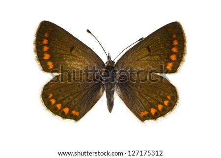 Dorsal view of Aricia agestis (Brown Argus)  butterfly isolated on white background. - stock photo