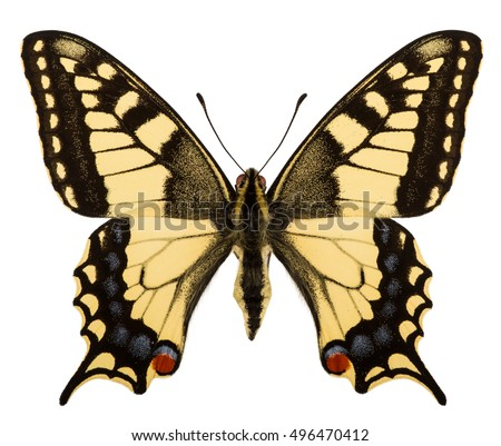 Dorsal view of Old World swallowtail (Papilio machaon) isolated on white