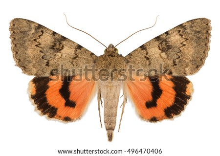 Dorsal view of underwing moth (Catocala puerpera) isolated on white