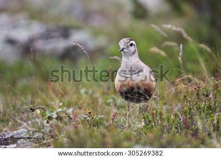 Dotterel, Charadrius morinellus, male on the breeding ground, Finland