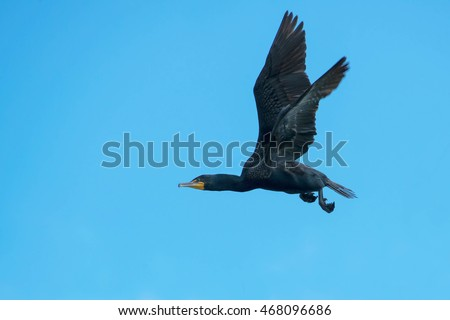 Double-crested Cormorant flying across a clear blue sky.