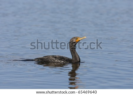 Double-crested Cormorant (Phalacrocorax auritus floridanus), adult swimming.