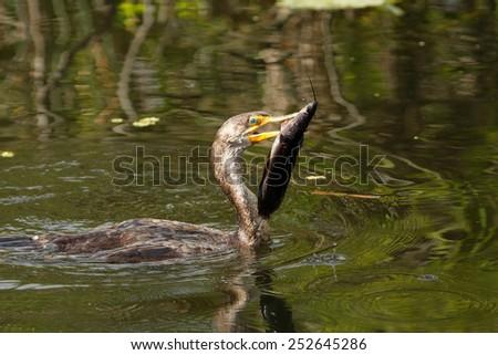 Double-crested Cormorant (Phalacrocorax auritus) with a fish - stock photo