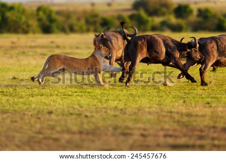 Double Cross female Lion hunting Buffaloes in Masai Mara, Kenya - stock photo