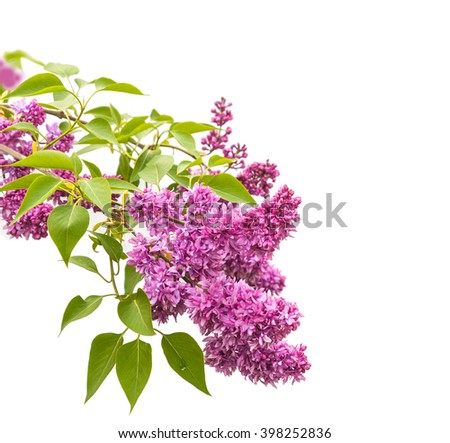 Double lilac flower isolated on white background