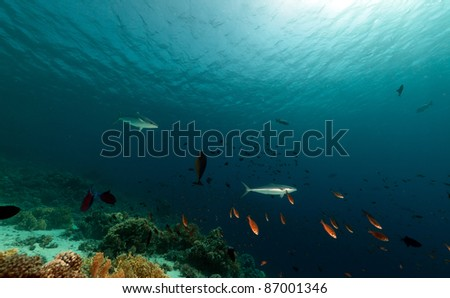 Double-lined mackerel and tropical underwater life in the Red Sea. - stock photo