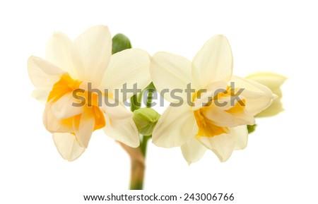 double mini-narcissi isolated on white background - stock photo