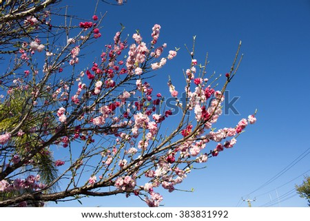 Double pale pink frilled  decorative flowers of  deciduous  fruit trees in spring blossoms against the blue Australian sky attracting bees to the sweet pollen is a superb sight in the urban street.