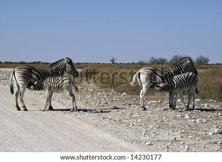 Double-take - two zebra calves feeding, Etosha Pan, Namibia - stock photo