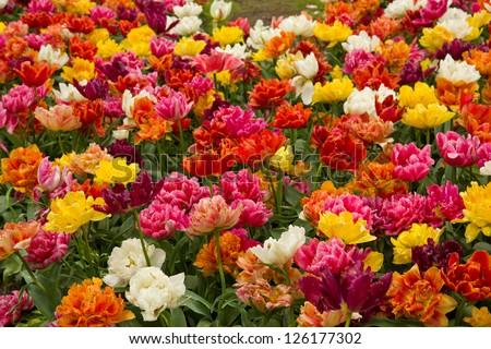 double tulips flowerbeds - stock photo