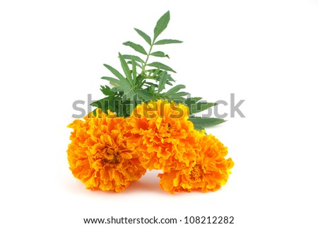 double yellow marigolds isolated on white - stock photo