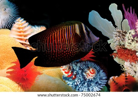 Doublebar bream (acanthopagrus bifasciatus) and Christmas tree worms - stock photo
