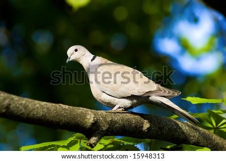 dove on the tree's twig - stock photo