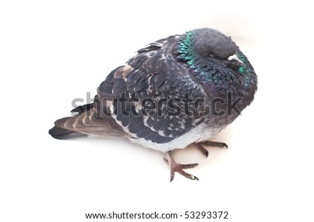 Dove Pigeon isolated on white background