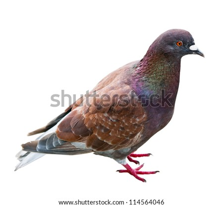 dove with the brown color isolated on white background - stock photo