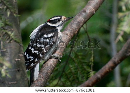 Downy Woodpecker - stock photo