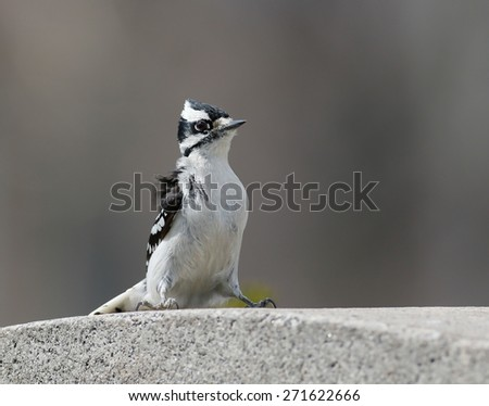 Downy Woodpecker - Female - stock photo