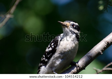Downy Woodpecker Perched in a Tree - stock photo