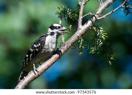 Downy Woodpecker Perched in Tree - stock photo