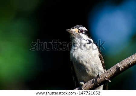 Downy Woodpecker Perched on a Branch - stock photo