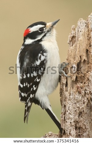 Downy Woodpecker (Picoides pubescens) on a rotting stump with a green background - stock photo