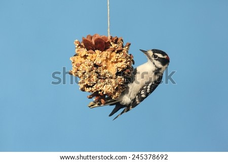 Downy Woodpecker (Picoides pubescens) on a suet feeder pine cone with a blue background - stock photo