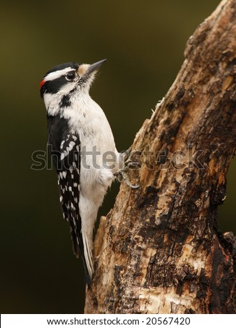 Downy woodpecker (Picoides pubescens) perch'. - stock photo