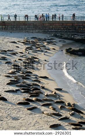 Dozens of harbor seals sleeping on Seal Beach in La Jolla - stock photo
