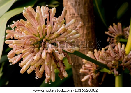 Dracaena fragrans flower have blooming in the late winter of Thailand.