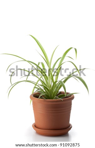 Dracaena house plant in flower pot - stock photo
