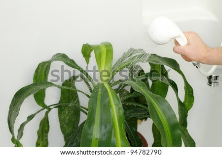 Dracaena houseplant being given a shower in the bathtub to clean dust off and hydrate it. - stock photo