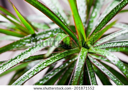 dracena marginata with water drops closeup